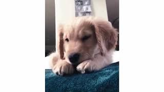 Funny And Cute Golden Retriever Puppies Compilation #1 | Cutest Golden Puppies Love