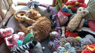 Funny Cat Loves to Play with Dog Toys in Great Danes' Bed