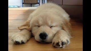 Funny And Cute Golden Retriever Puppies Compilation | Cutest Golden Puppies Love