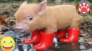 Cute & Funny Micro Pig - A Cute Mini Pig Videos Compilation 2019