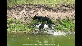 Funny Great Danes Love to Race through Dirt and Water