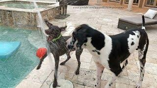 Funny Great Dane and Pointer Love Playing With Water Fountains