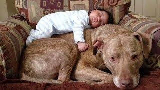 Cute Pitbull Dogs Loving And Playing With Babies ★ Funny Baby Videos
