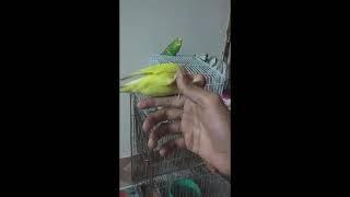 Tame Funny Love Bird    এ কেমন আদর   